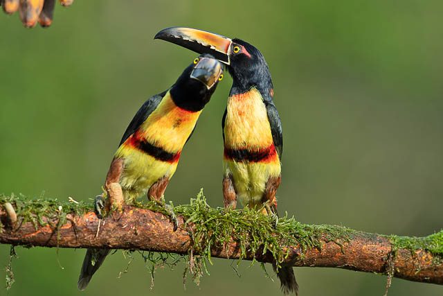 a pair of birds chirping at tarcoles and carara