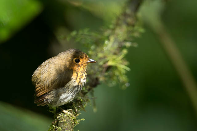 a very small bird at ecuadorian amazon