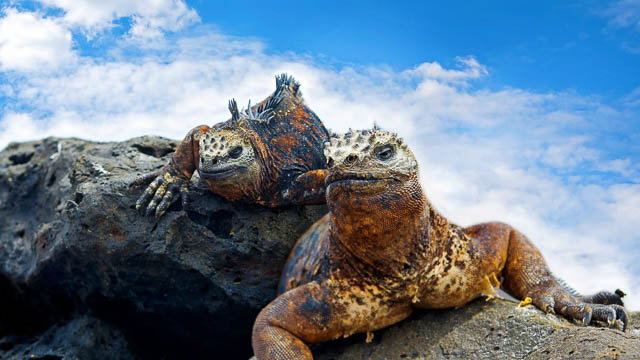 iguanas resting on a rock in galapagos islands