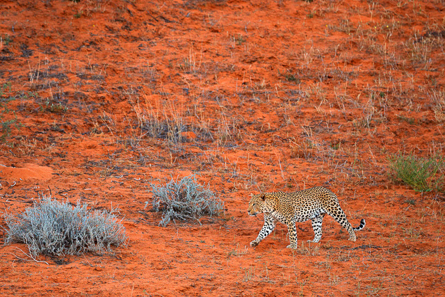 leopard strolling across red dunes in kalahari game reserve