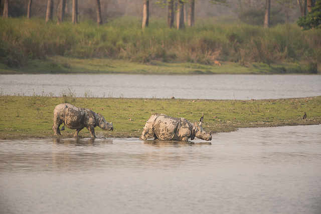 two one-horned rhino ready to dive in a water body in kaziranga national park india
