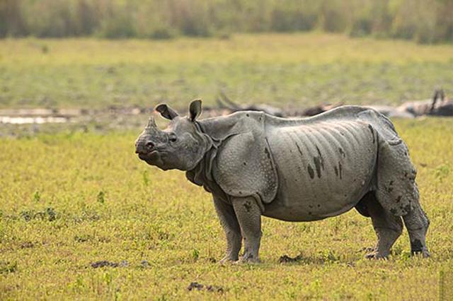 one-horned rhino at kaziranga national park india