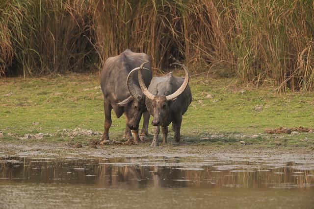 wild buffalo at kaziranga national park india