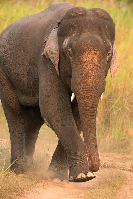 an elephant at kaziranga national park india