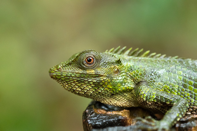 green color reptile resting in Agumbe forest Karnataka India