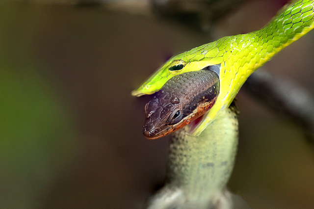 green snake catching its prey by neck in amboli maharashtra india