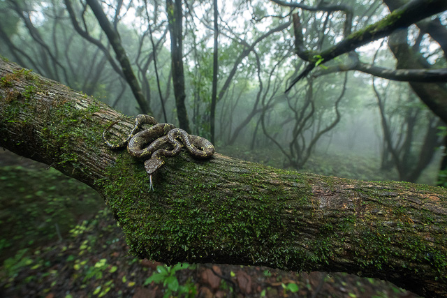 snake sitting on a tree branch in fog filled forest in amboli ghat maharashtra india