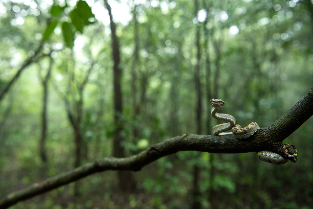snake ready to take a dive from a small twig in amboli hill station maharashtra india