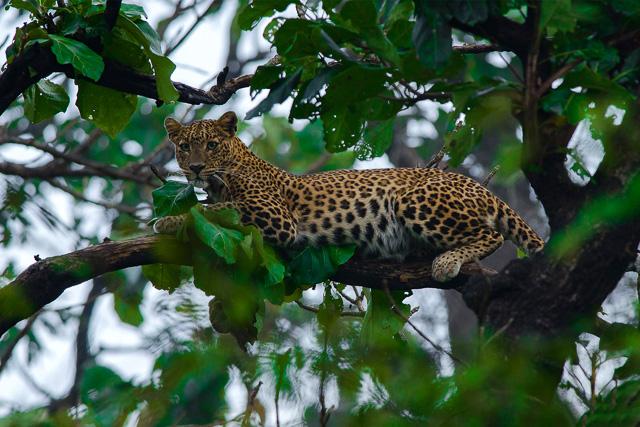 leopard sitting on a tree in Bandipur national park Karnataka India