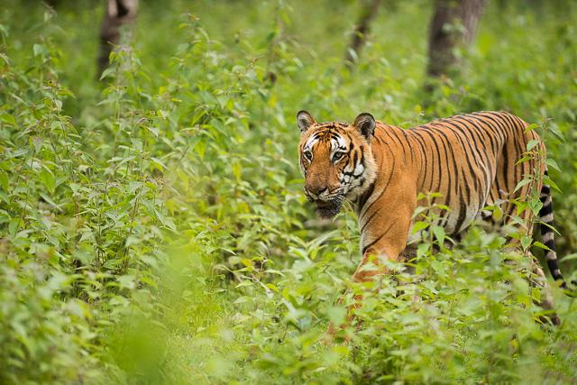 tiger roaming around Bandipur National Park Karnataka India