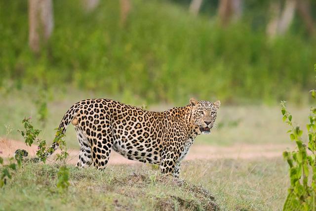 leopard in Bandipur National Park Karnataka India