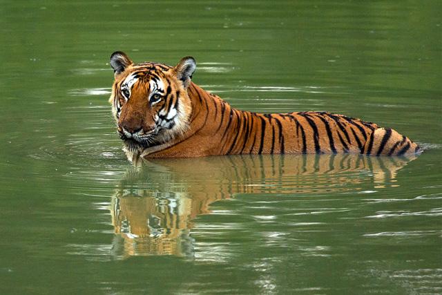 tiger having a swim at Bandipur National Park Karnataka India