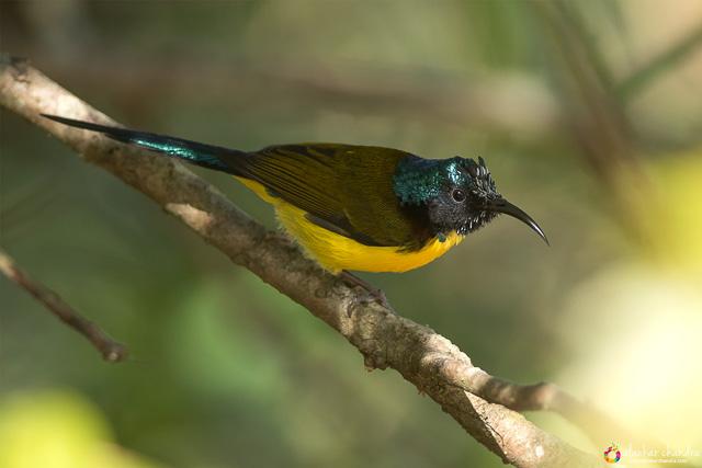 birding in chopta uttarakhand india