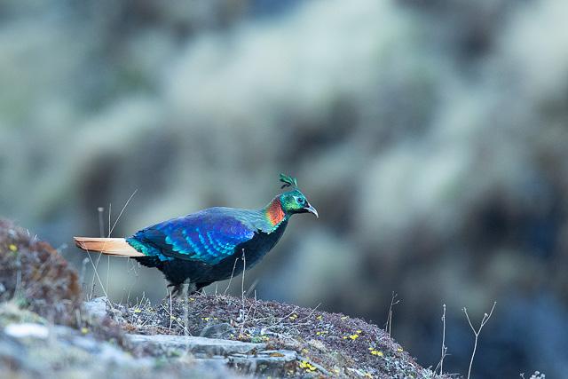 himalayan monal bird at chopta uttarakhand india