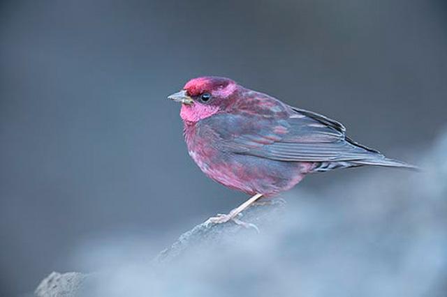 rosefinch bird in chopta uttarakhand india