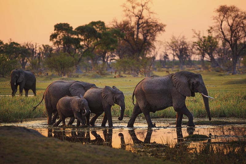 Okavango delta elephants