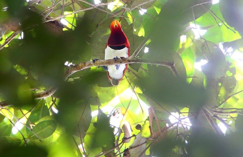 paradise bird papua