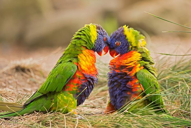 papua parrot