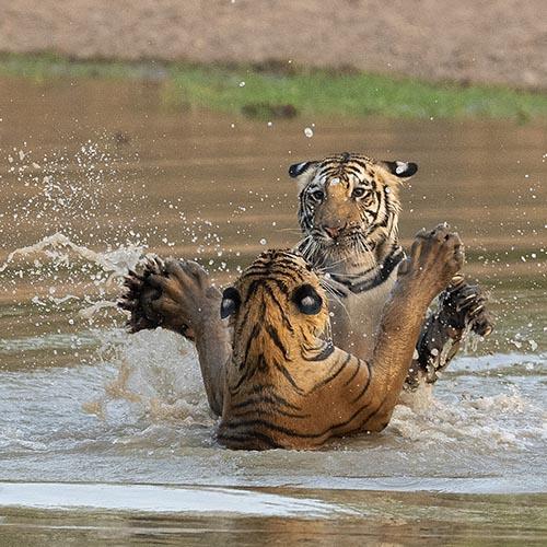 Tiger Trails tour