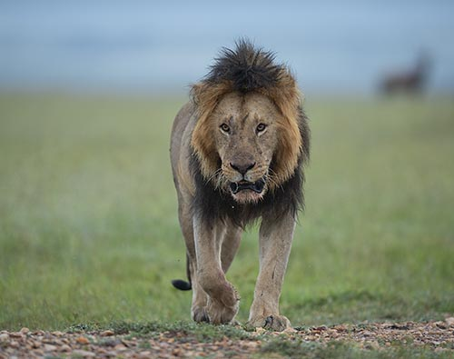 Masai Mara Luxury tour