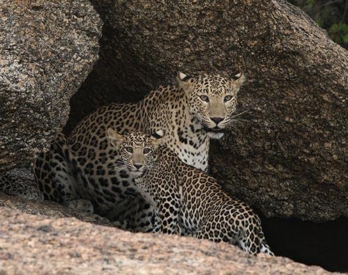 Bera and Jawai Leopards tour