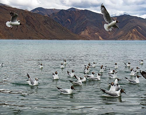Ladakh Birding and Wildlife tour
