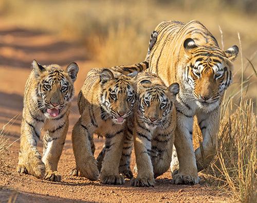 India Tiger Marathon tour